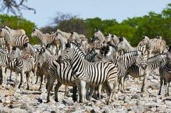 Табун зебр стоковые фото