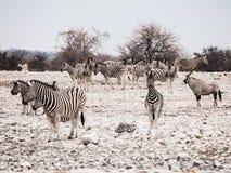 Табун зебр Стоковые Изображения