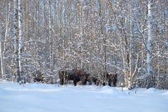 Табун зубра в лесе березы зимы Стоковое фото RF