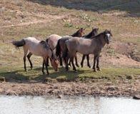 Табун дикой лошади на водопое в ряде дикой лошади горы Pryor в Монтане Стоковые Фотографии RF