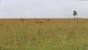 Табун импал в равнине травы сток-видео