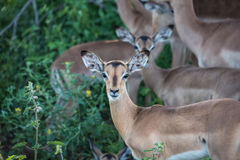 Табун импалы в африканском кусте Стоковое Изображение