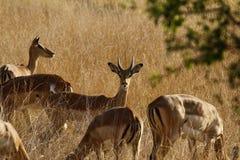 Табун импалы пася на открытых равнинах Стоковые Фотографии RF