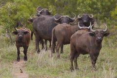 Табун индийского буйвола в африканских равнинах Стоковое Фото