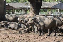 Табун индийского буйвола в конюшне Стоковое Фото