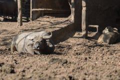 Табун индийского буйвола в конюшне Стоковые Изображения