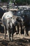 Табун индийского буйвола в конюшне Стоковые Изображения RF