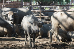 Табун индийского буйвола в конюшне Стоковая Фотография RF