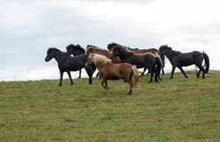 Табун исландских лошадей в выгоне в Исландии Стоковые Фото