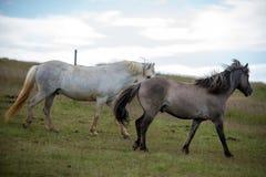 Табун исландских лошадей в выгоне в Исландии Стоковые Фотографии RF