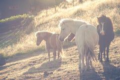 Табун исландских лошадей в солнечном свете стоя на злаковике Стоковые Изображения