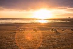 Табун исландских овец в свете захода солнца, Исландии Стоковые Фотографии RF