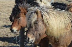 Табун исландских пони стоя совместно в табуне Стоковая Фотография