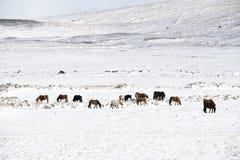 Табун исландских лошадей в ландшафте зимы Стоковое Изображение RF