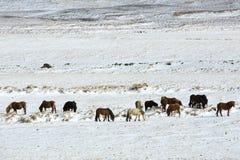 Табун исландских лошадей в ландшафте зимы Стоковые Изображения