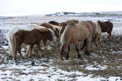 Табун исландских лошадей в зиме Стоковые Изображения RF