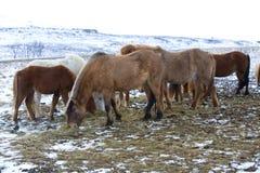 Табун исландских лошадей в зиме Стоковые Изображения