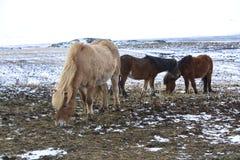 Табун исландских лошадей в зиме Стоковая Фотография