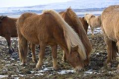 Табун исландских лошадей в зиме Стоковое Изображение