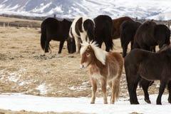 Табун исландских лошадей в снежном ландшафте горы Стоковые Изображения RF