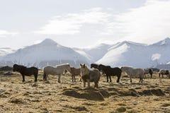 Табун исландских лошадей в снежном ландшафте горы Стоковые Фотографии RF