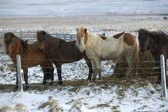 Табун исландских лошадей в wintertime Стоковые Изображения RF