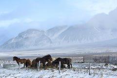 Табун исландских лошадей в wintertime Стоковое Изображение