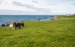 Табун исландских лошадей на зеленом луге Стоковые Фото