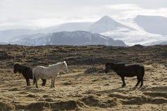 Табун исландских лошадей на луге Стоковая Фотография RF
