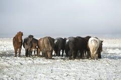 Табун исландских лошадей после шторма снега Стоковые Фотографии RF