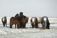 Табун исландских лошадей после шторма снега Стоковые Фото