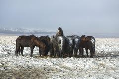 Табун исландских лошадей после шторма снега Стоковые Изображения