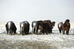 Табун исландских лошадей после шторма снега Стоковое Изображение