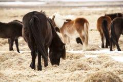 Табун исландских пони на луге весной Стоковые Фотографии RF