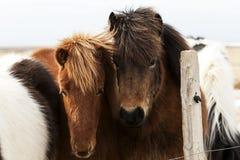 Табун исландских пони Стоковая Фотография RF