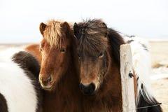 Табун исландских пони Стоковые Фотографии RF