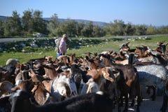 Табун и чабан козы на природном парке Сьерра Subbetica в Андалусии, через Ла Subbetica Verde на Cabra, Cordoba, Испания стоковые фотографии rf