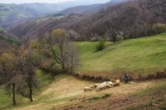 Табун и чабан овец стоковое фото rf