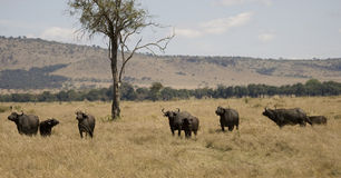 табун Кения плащи-накидк буйвола Стоковые Фотографии RF
