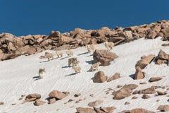 Табун козы горы в снеге стоковые фотографии rf