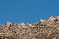 Табун козы горы стоковое изображение rf