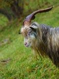 Табун козы на выгоне горы Стоковые Изображения