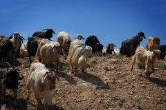 Табун козы стоковые фотографии rf