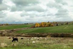 Табун коз и коровы пасут в поле осени Стоковые Фото