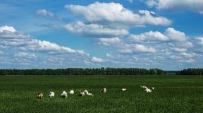 Табун коз на выгоне стоковые изображения rf