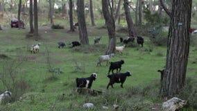 Табун коз пася на зеленой траве в сумерк лета сток-видео