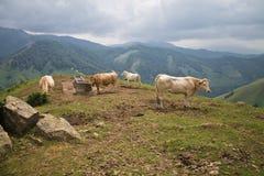 Табун коричневых коров бежа в красивых горах irati Стоковые Фото