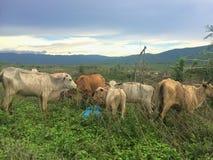 Табун коровы в выгоне Стоковые Изображения RF