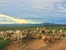 Табун коровы в выгоне Стоковое фото RF
