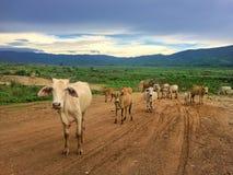 Табун коровы в выгоне Стоковые Фотографии RF